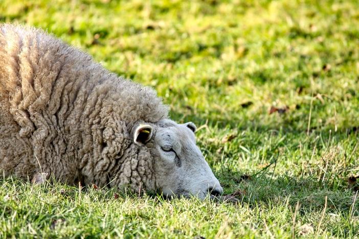 sheep-3119307